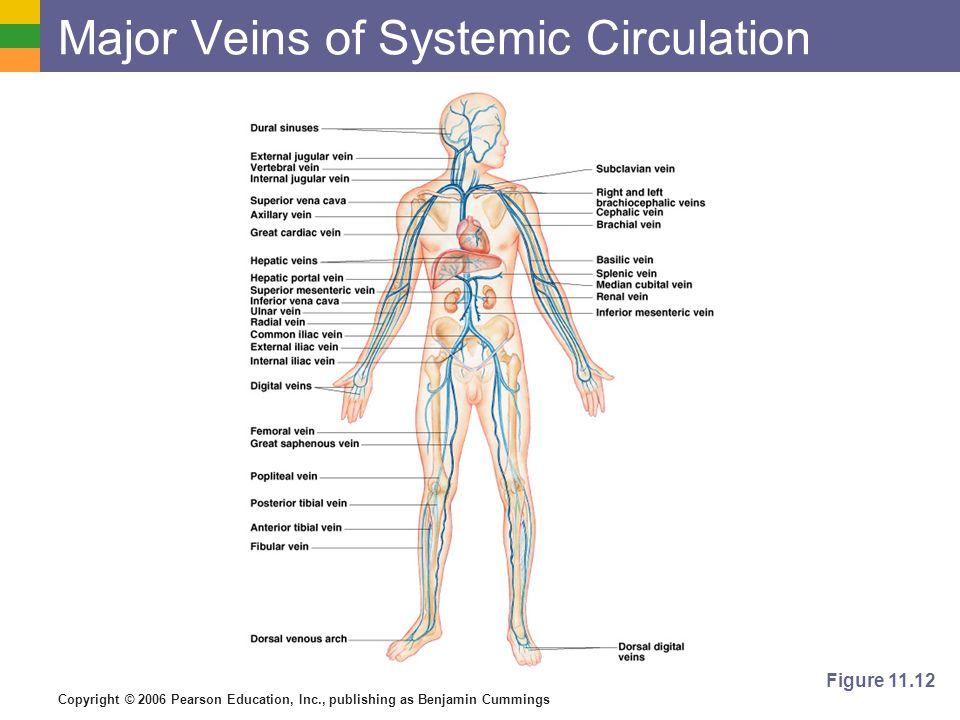Copyright © 2006 Pearson Education, Inc., publishing as Benjamin Cummings Major Veins of Systemic Circulation Figure 11.12