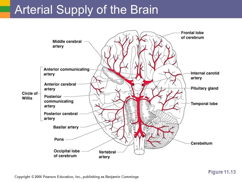Copyright © 2006 Pearson Education, Inc., publishing as Benjamin Cummings Arterial Supply of the Brain Figure 11.13
