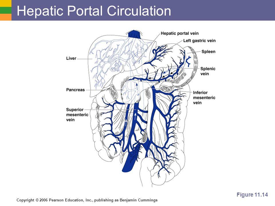 Copyright © 2006 Pearson Education, Inc., publishing as Benjamin Cummings Hepatic Portal Circulation Figure 11.14