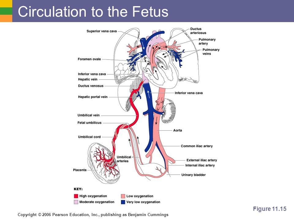 Copyright © 2006 Pearson Education, Inc., publishing as Benjamin Cummings Circulation to the Fetus Figure 11.15