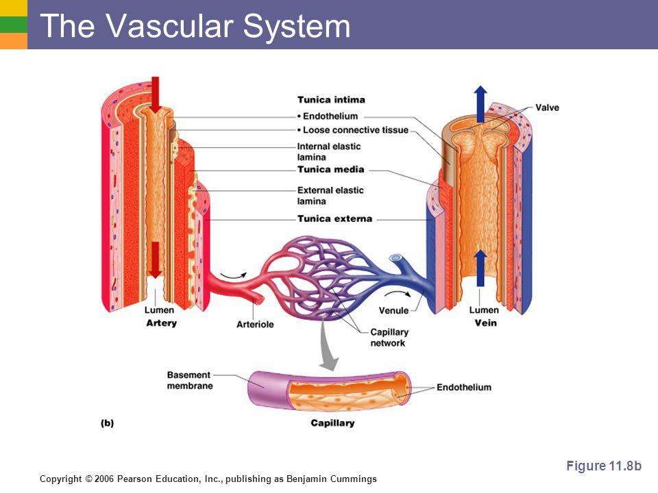 Copyright © 2006 Pearson Education, Inc., publishing as Benjamin Cummings The Vascular System Figure 11.8b