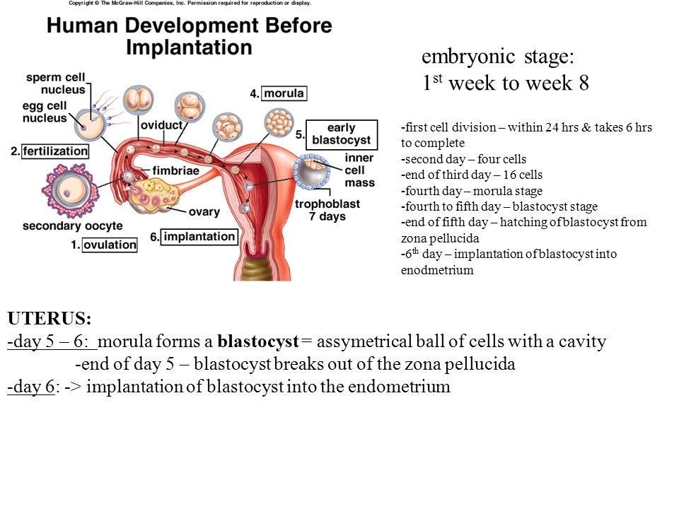 UTERUS: -day 5 – 6: morula forms a blastocyst = assymetrical ball of cells with a cavity -end of day 5 – blastocyst breaks out of the zona pellucida -day 6: -> implantation of blastocyst into the endometrium embryonic stage: 1 st week to week 8 -first cell division – within 24 hrs & takes 6 hrs to complete -second day – four cells -end of third day – 16 cells -fourth day – morula stage -fourth to fifth day – blastocyst stage -end of fifth day – hatching of blastocyst from zona pellucida -6 th day – implantation of blastocyst into enodmetrium