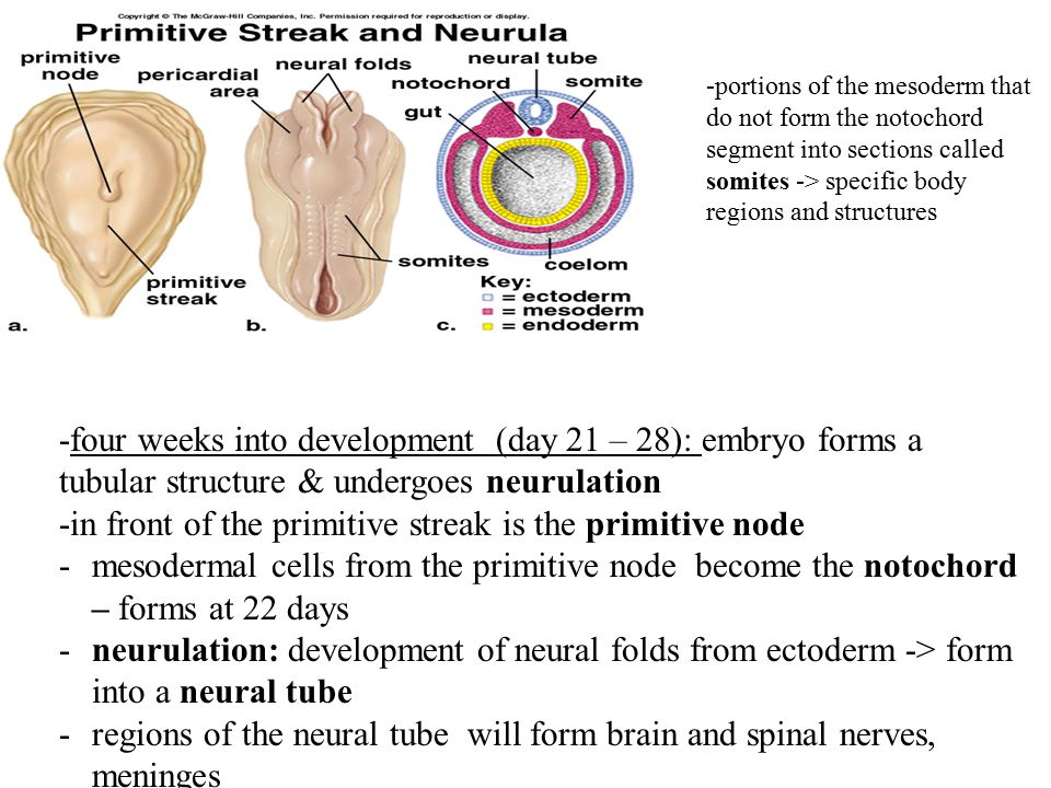 -four weeks into development (day 21 – 28): embryo forms a tubular structure & undergoes neurulation -in front of the primitive streak is the primitive node -mesodermal cells from the primitive node become the notochord – forms at 22 days -neurulation: development of neural folds from ectoderm -> form into a neural tube -regions of the neural tube will form brain and spinal nerves, meninges -neural crest cells form skeletal and muscular components of the head -17 th day after fertilization – mesodermal cells form columns of mesoderm which segment into somites – these develop into skin, muscles and vertebrae in specific segments of the embryo -portions of the mesoderm that do not form the notochord segment into sections called somites -> specific body regions and structures