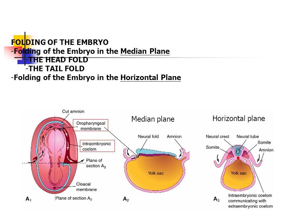 THE HEAD FOLD -Septum transversum 橫中膈 develops into the central tendon of the diaphragm -The longitudinal infolding turns yolk sac inward as foregut (primordium of pharynx, etc.).