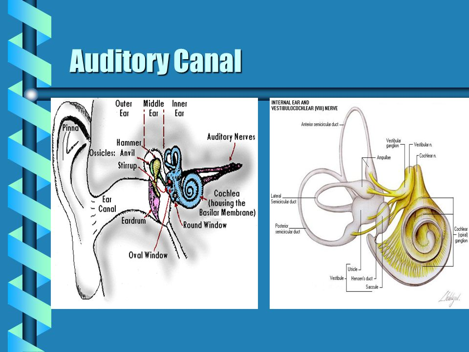 Auditory Canal Auditory Canal
