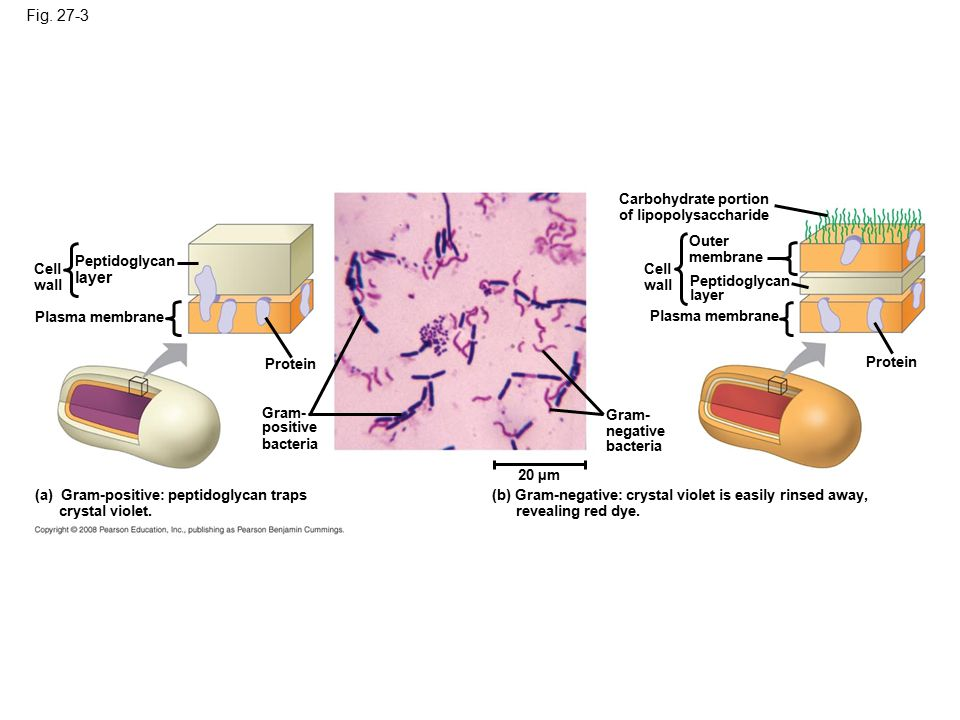 Fig. 27-3 Cell wall Peptidoglycan layer Plasma membrane Protein Gram- positive bacteria (a) Gram-positive: peptidoglycan traps crystal violet. Gram- n