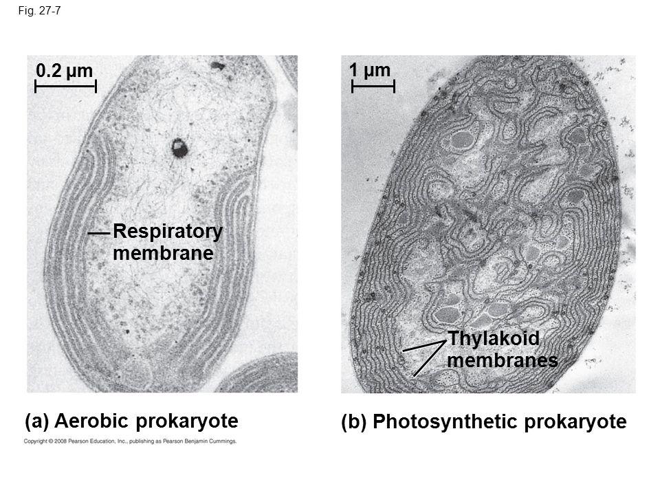 Fig. 27-7 (a) Aerobic prokaryote (b) Photosynthetic prokaryote Thylakoid membranes Respiratory membrane 0.2 µm 1 µm