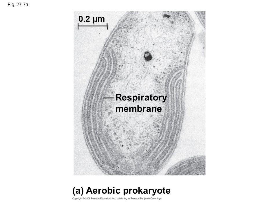 Fig. 27-7a (a) Aerobic prokaryote Respiratory membrane 0.2 µm