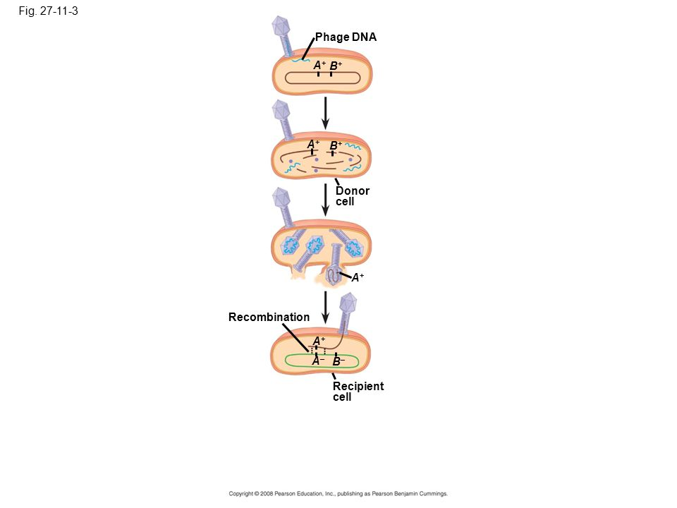 Fig. 27-11-3 Recipient cell B–B– A+A+ A–A– Recombination A+A+ Donor cell A+A+ B+B+ A+A+ B+B+ Phage DNA