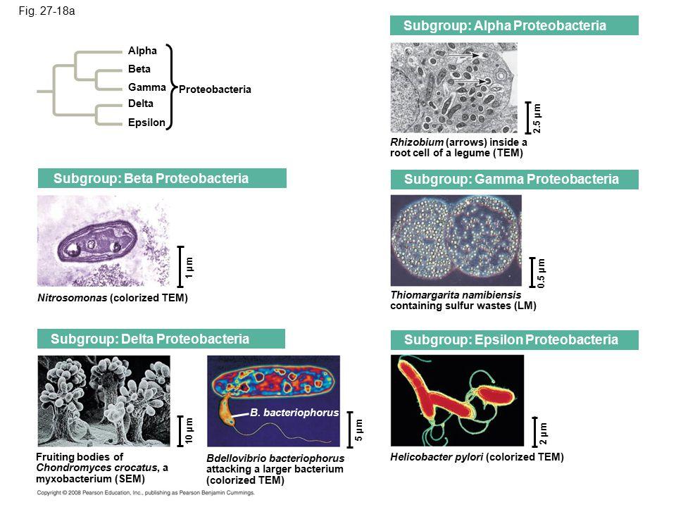 Fig. 27-18a Alpha Beta Gamma Delta Epsilon Proteobacteria Subgroup: Beta Proteobacteria Nitrosomonas (colorized TEM) 1 µm Subgroup: Delta Proteobacter