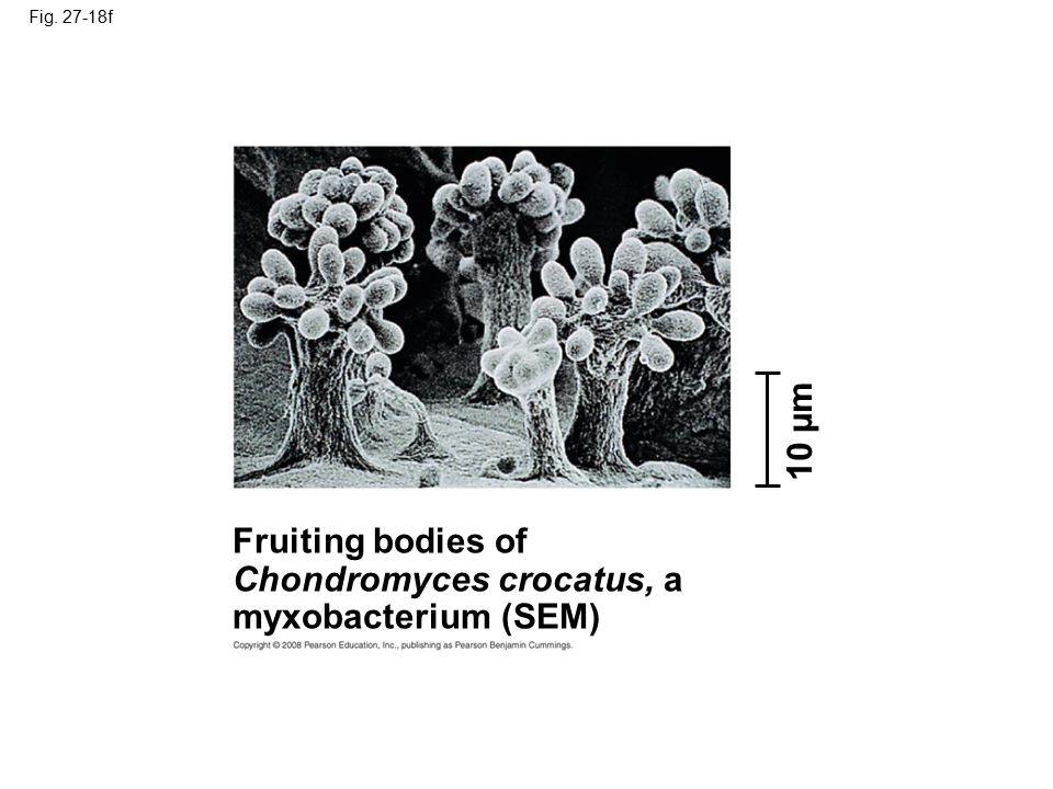 Fig. 27-18f Fruiting bodies of Chondromyces crocatus, a myxobacterium (SEM) 10 µm