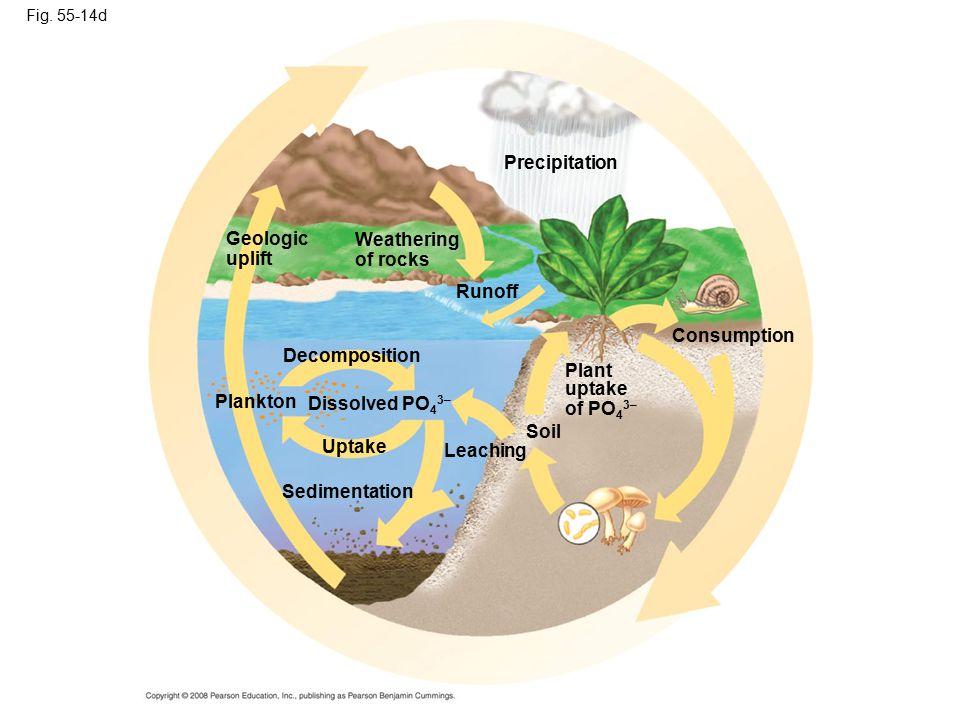 Fig. 55-14d Leaching Consumption Precipitation Plant uptake of PO 4 3– Soil Sedimentation Uptake Plankton Decomposition Dissolved PO 4 3– Runoff Geolo