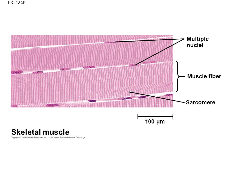 Fig. 40-5k Skeletal muscle Multiple nuclei Muscle fiber Sarcomere 100 µm