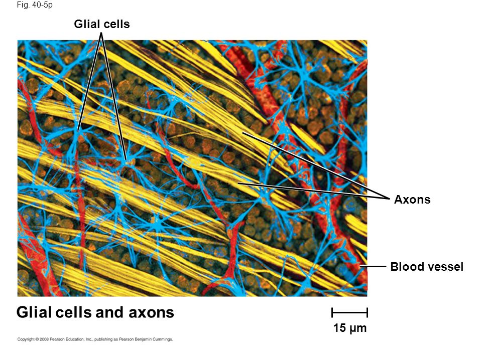 Fig. 40-5p Glial cells Axons Blood vessel Glial cells and axons 15 µm