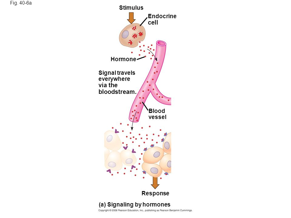 Fig.40-6a Stimulus Endocrine cell Hormone Signal travels everywhere via the bloodstream.