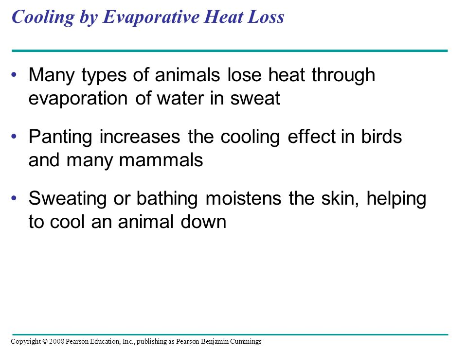 Cooling by Evaporative Heat Loss Many types of animals lose heat through evaporation of water in sweat Panting increases the cooling effect in birds a