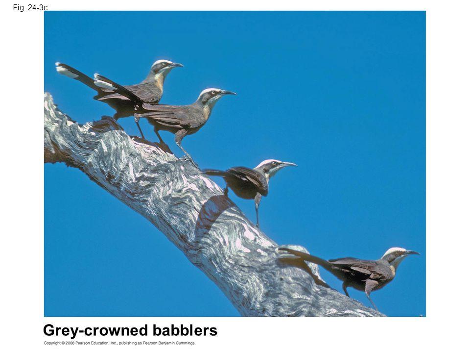 Fig. 24-3c Grey-crowned babblers