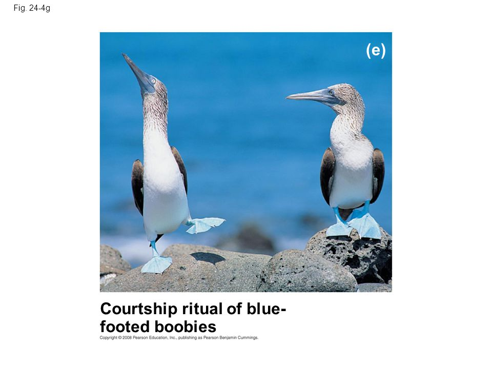 Fig. 24-4g (e) Courtship ritual of blue- footed boobies