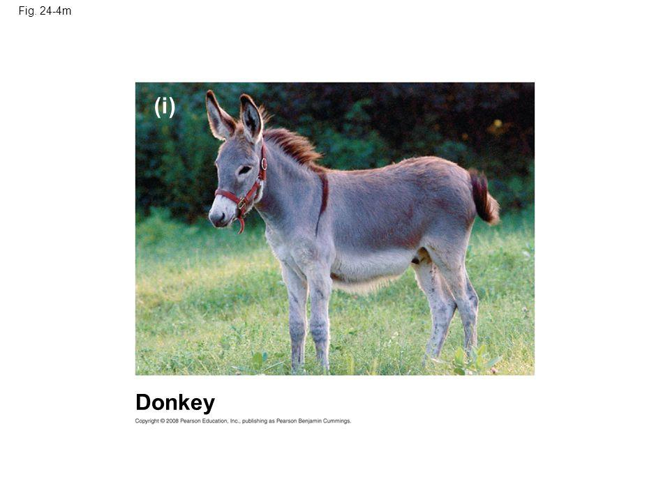 Fig. 24-4m (i) Donkey