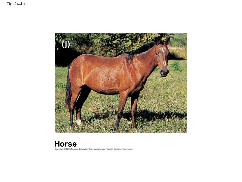Fig. 24-4n ( j) Horse