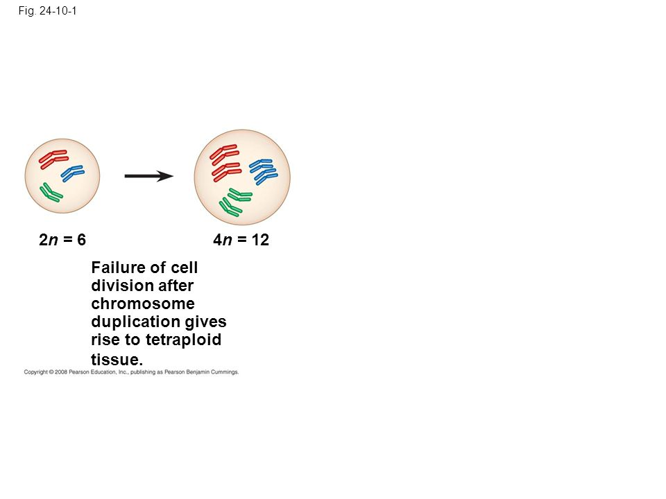 Fig. 24-10-1 2n = 64n = 12 Failure of cell division after chromosome duplication gives rise to tetraploid tissue.