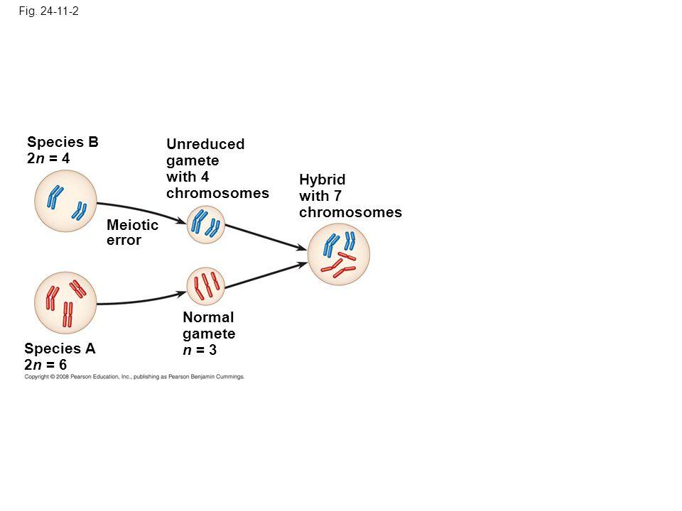 Fig. 24-11-2 Species A 2n = 6 Normal gamete n = 3 Meiotic error Species B 2n = 4 Unreduced gamete with 4 chromosomes Hybrid with 7 chromosomes
