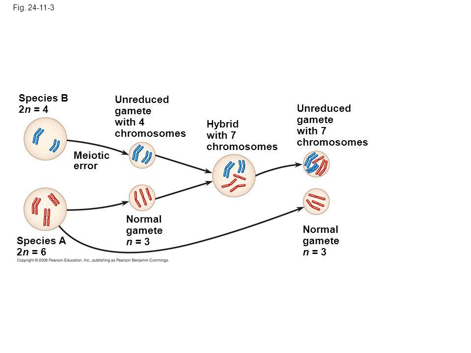 Fig. 24-11-3 Species A 2n = 6 Normal gamete n = 3 Meiotic error Species B 2n = 4 Unreduced gamete with 4 chromosomes Hybrid with 7 chromosomes Unreduc