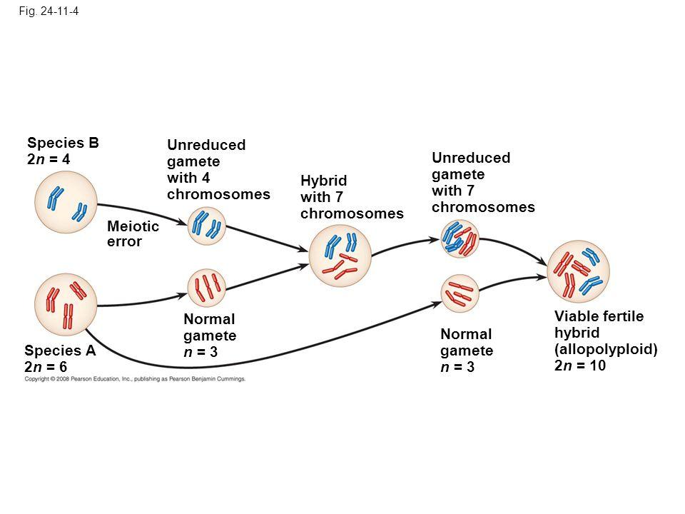 Fig. 24-11-4 Species A 2n = 6 Normal gamete n = 3 Meiotic error Species B 2n = 4 Unreduced gamete with 4 chromosomes Hybrid with 7 chromosomes Unreduc