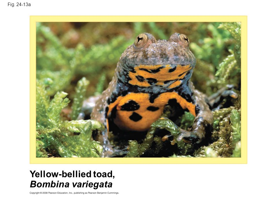 Fig. 24-13a Yellow-bellied toad, Bombina variegata