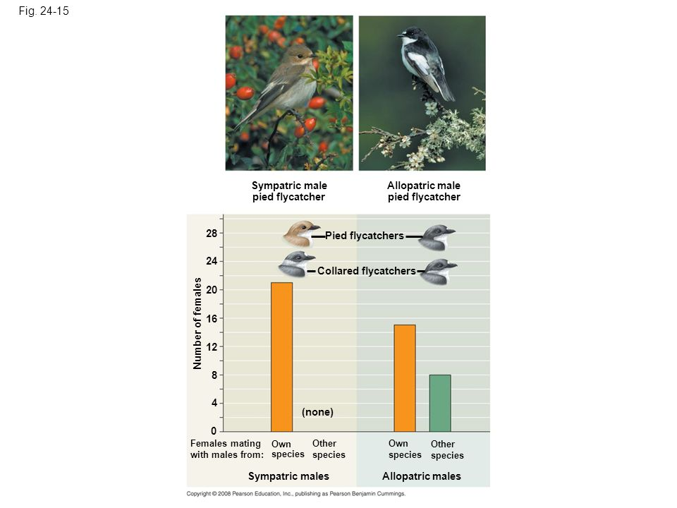Fig. 24-15 Sympatric male pied flycatcher Allopatric male pied flycatcher Pied flycatchers Collared flycatchers Number of females (none) Females matin