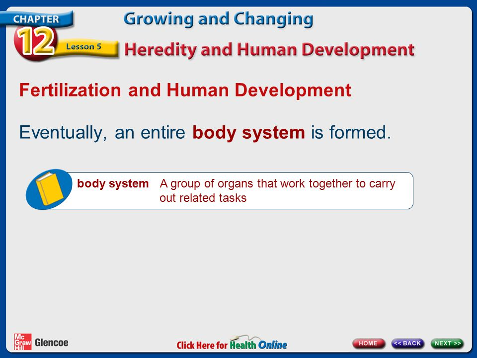 Fertilization and Human Development Eventually, an entire body system is formed.