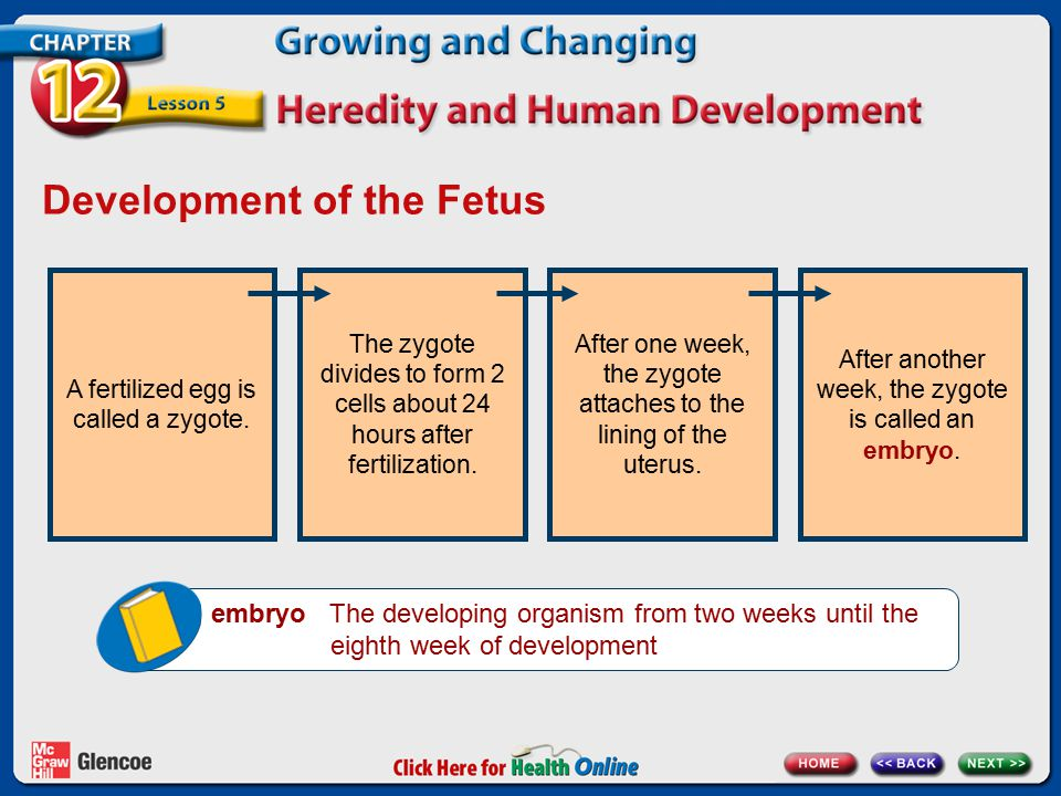 Development of the Fetus embryo The developing organism from two weeks until the eighth week of development A fertilized egg is called a zygote.