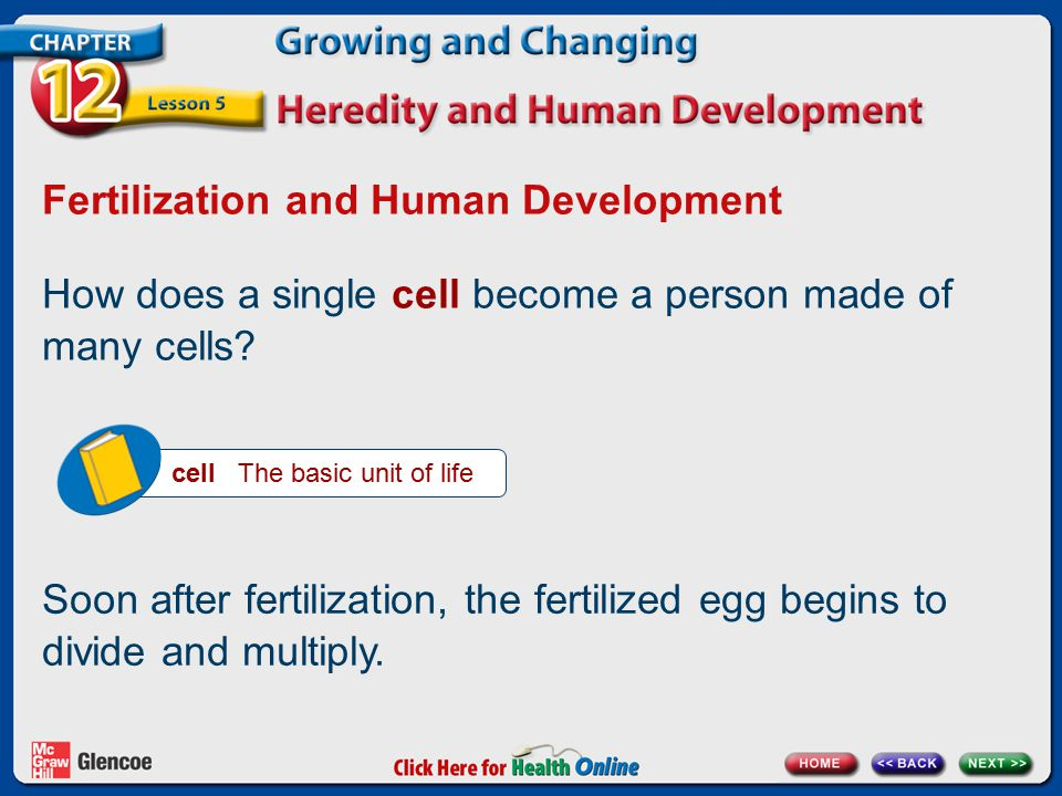 Fertilization and Human Development How does a single cell become a person made of many cells.