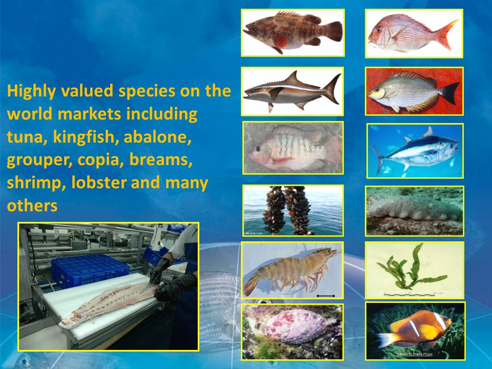 Highly valued species on the world markets including tuna, kingfish, abalone, grouper, copia, breams, shrimp, lobster and many others