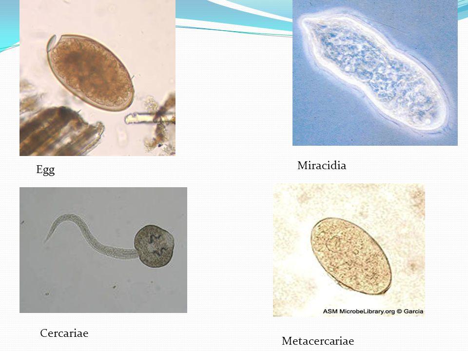 Miracidia Metacercariae Cercariae Egg