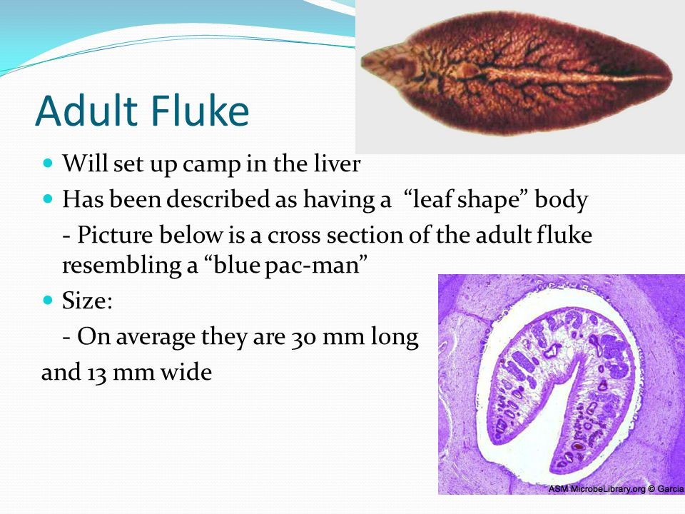 Adult Fluke Will set up camp in the liver Has been described as having a leaf shape body - Picture below is a cross section of the adult fluke resembling a blue pac-man Size: - On average they are 30 mm long and 13 mm wide