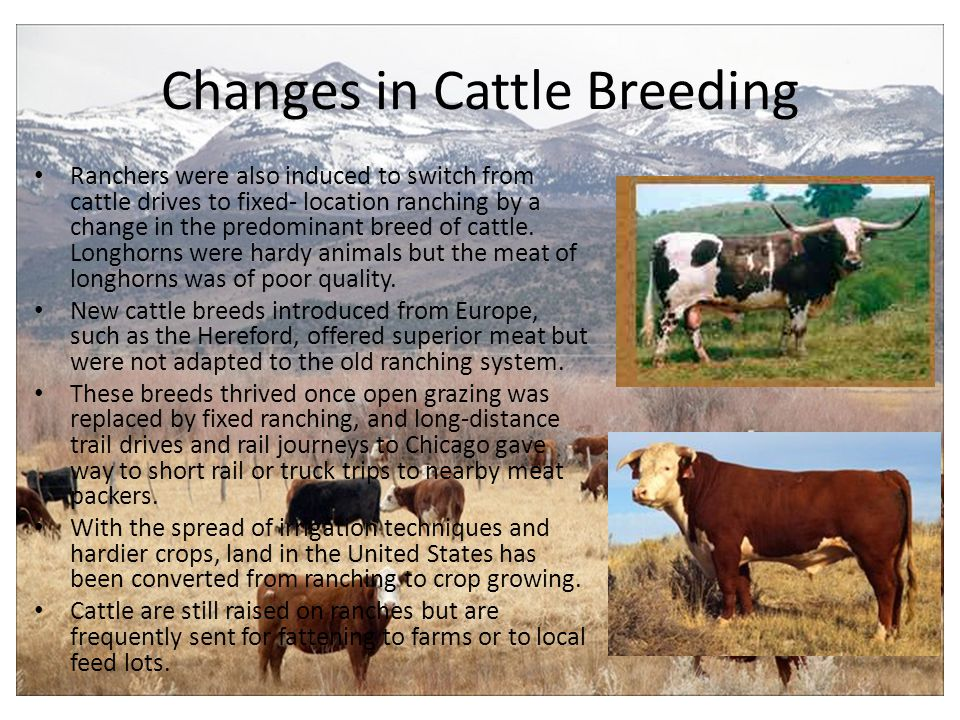 Changes in Cattle Breeding Ranchers were also induced to switch from cattle drives to fixed- location ranching by a change in the predominant breed of