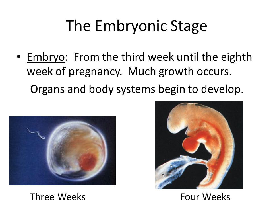 The Embryonic Stage Embryo: From the third week until the eighth week of pregnancy. Much growth occurs. Organs and body systems begin to develop. Thre