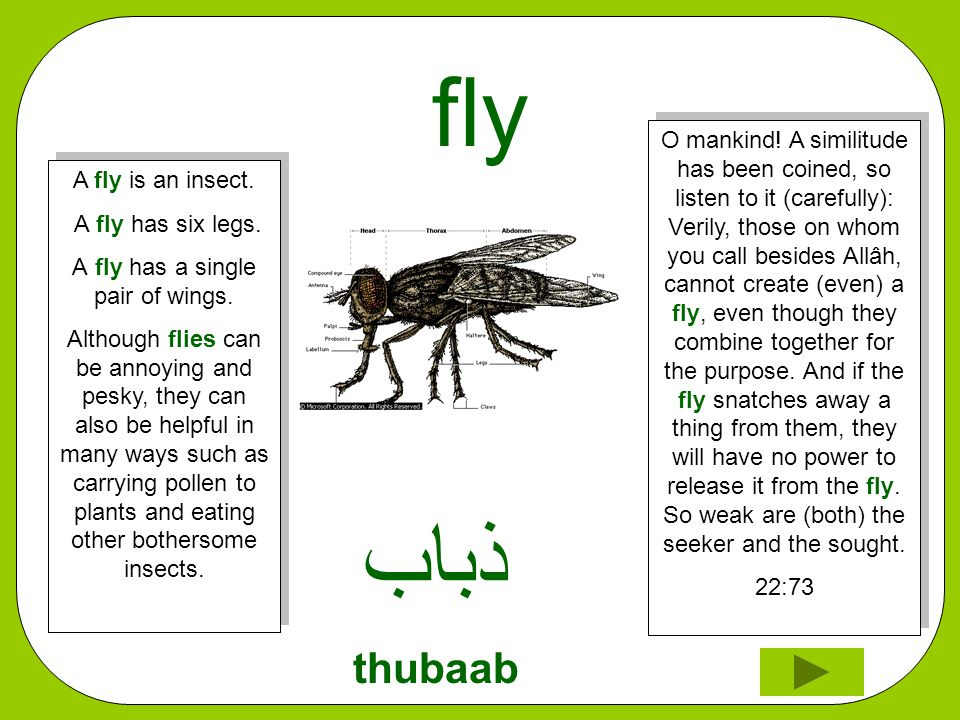 fly ﺬﺑﺎﺏ thubaab O mankind! A similitude has been coined, so listen to it (carefully): Verily, those on whom you call besides Allâh, cannot create (ev