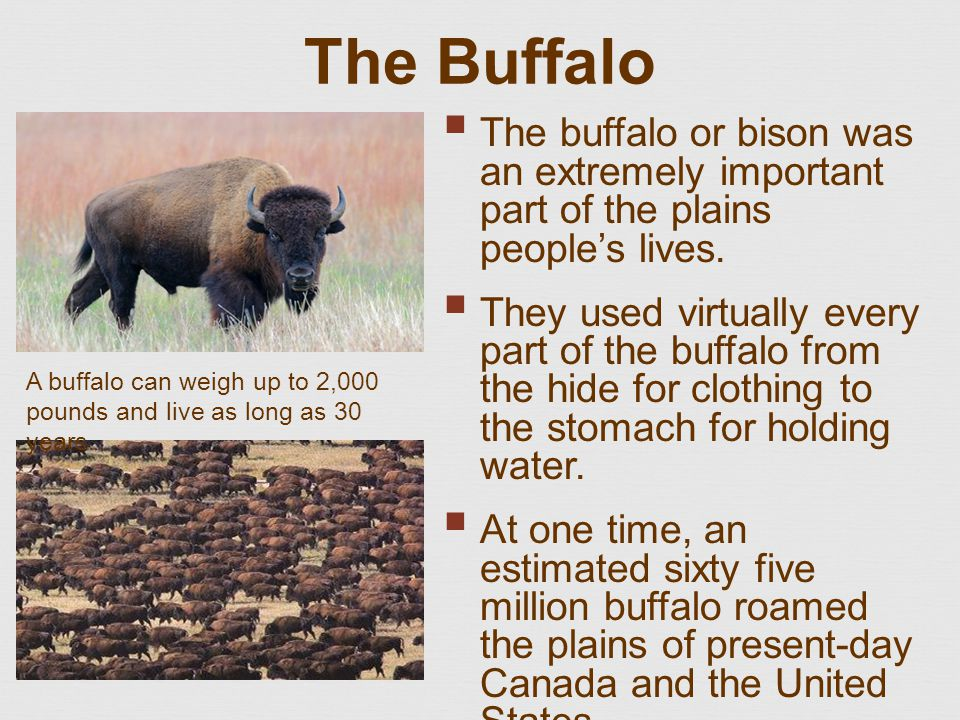The Buffalo  The buffalo or bison was an extremely important part of the plains people's lives.