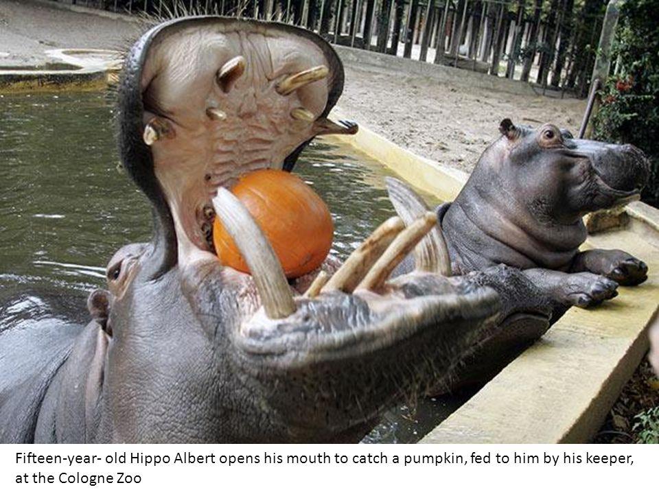 Baby walrus Akituusaq shows off his new set of titanium false teeth at his home at the New York Aquarium