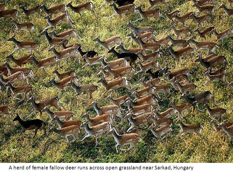 A herd of female fallow deer runs across open grassland near Sarkad, Hungary