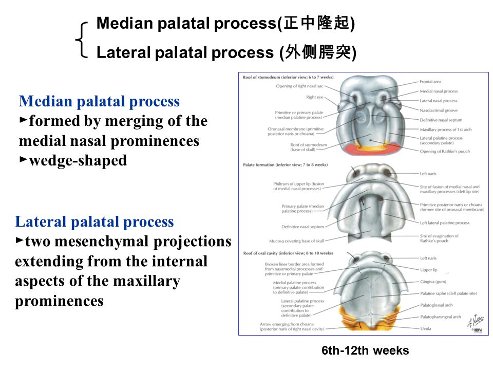 Median palatal process( 正中隆起 ) Lateral palatal process ( 外侧腭突 ) 6th-12th weeks Median palatal process ► formed by merging of the medial nasal prominences ► wedge-shaped Lateral palatal process ► two mesenchymal projections extending from the internal aspects of the maxillary prominences