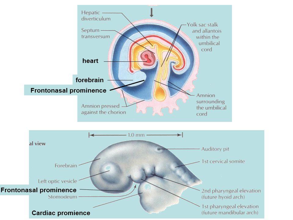 forebrain heart Frontonasal prominence Cardiac promience