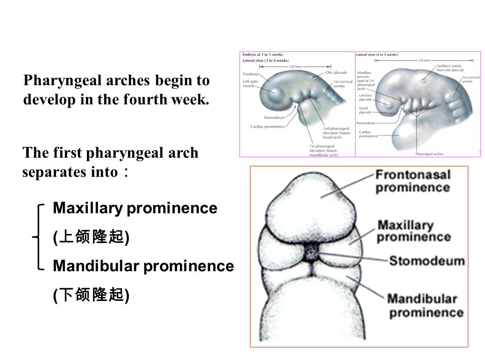 Uvula Hard palate( 硬腭 ) : bone gradually develops in the primary palate and anterior parts of lateral palatal processes Soft palate( 软腭 ): the posterior parts of lateral palatal processes do not become ossified.