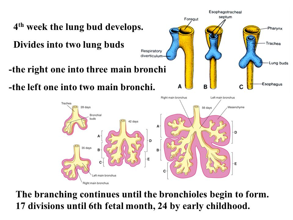 4 th week the lung bud develops.
