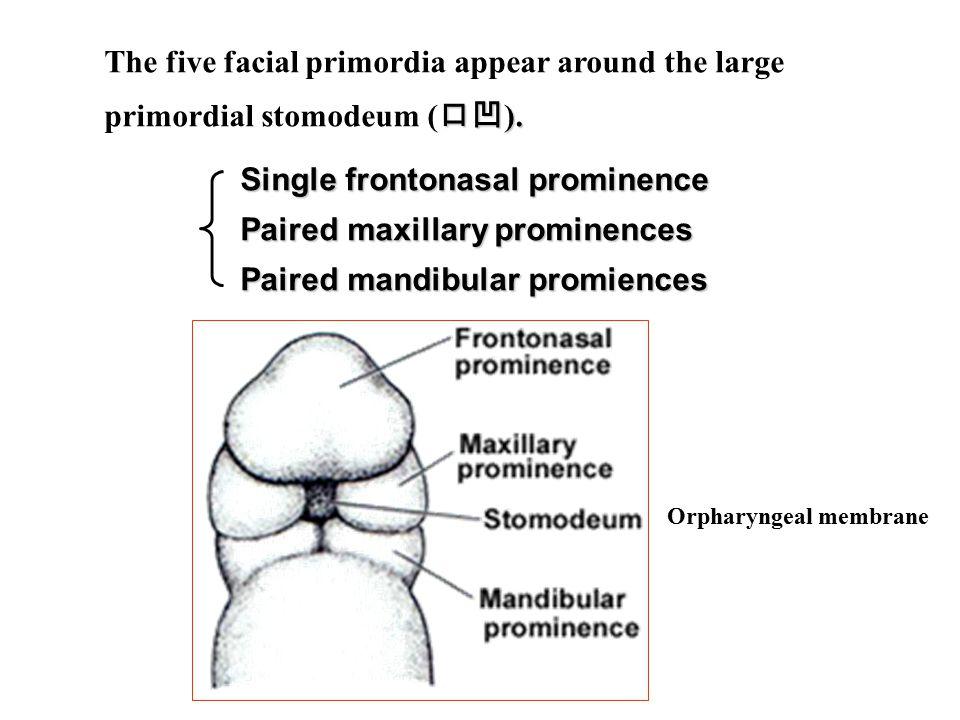 口凹 ). The five facial primordia appear around the large primordial stomodeum ( 口凹 ).