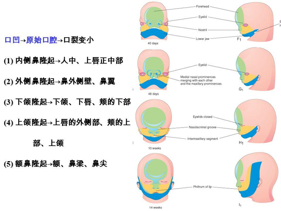 口凹 → 原始口腔 → 口裂变小 (1) 内侧鼻隆起 → 人中、上唇正中部 (2) 外侧鼻隆起 → 鼻外侧壁、鼻翼 (3) 下颌隆起 → 下颌、下唇、颊的下部 (4) 上颌隆起 → 上唇的外侧部、颊的上 部、上颌 部、上颌 (5) 额鼻隆起 → 额、鼻梁、鼻尖