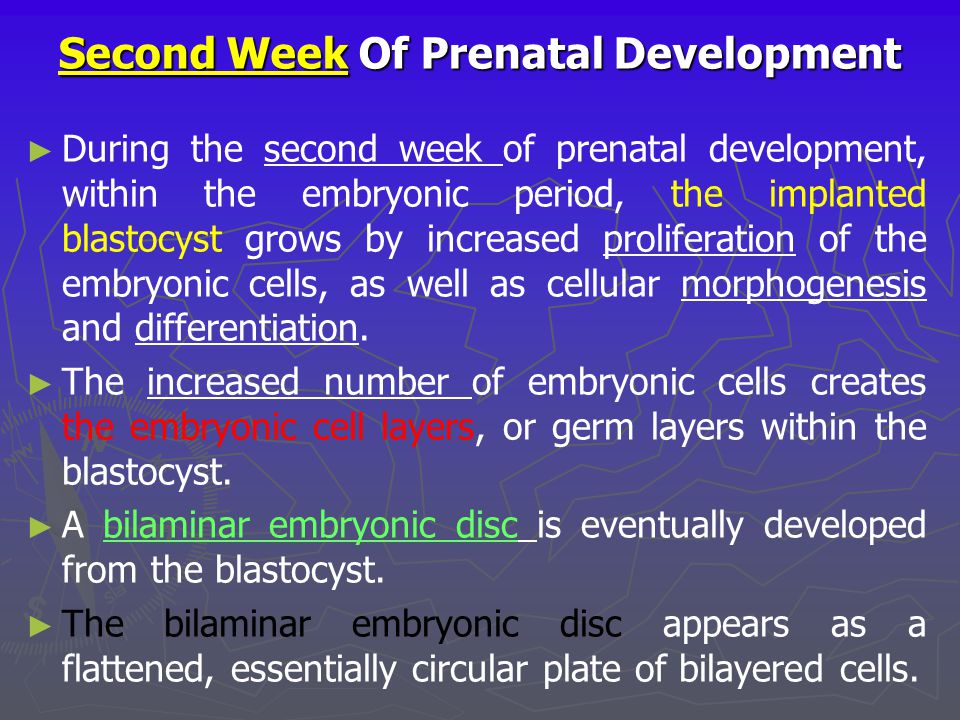 Second Week Of Prenatal Development ► ► During the second week of prenatal development, within the embryonic period, the implanted blastocyst grows by