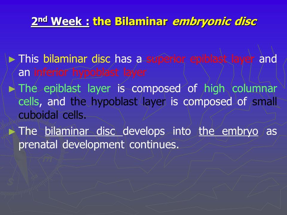 2 nd Week : the Bilaminar embryonic disc ► ► This bilaminar disc has a superior epiblast layer and an inferior hypoblast layer ► ► The epiblast layer